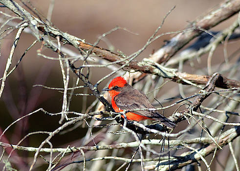 Vermilion Flycatcher in the Thicket by Carla Parris