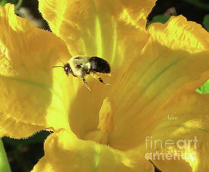 Felipe Adan Lerma - Vermont Summer Yellow Squash Bloom with Bee Macro