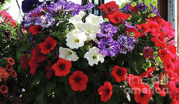 Vibrant Petunia Basket by Julie Rauscher