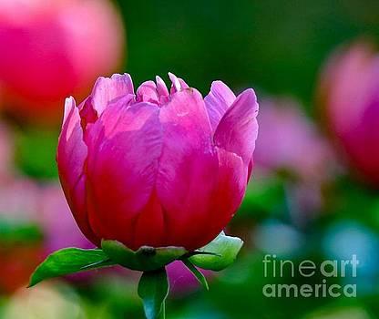 Vibrant Pink Peony by Susan Rydberg