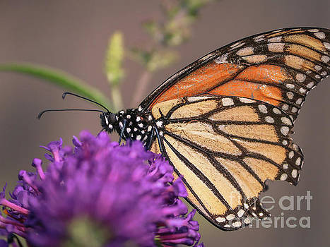 Viceroy butterfly by Claudia M Photography