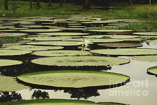 Victoria Amazonica by Cassandra Buckley