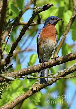 Vigilant Eastern Bluebird by Cindy Treger