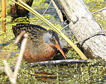 Virginia Rail-Painted by Kathy M Krause
