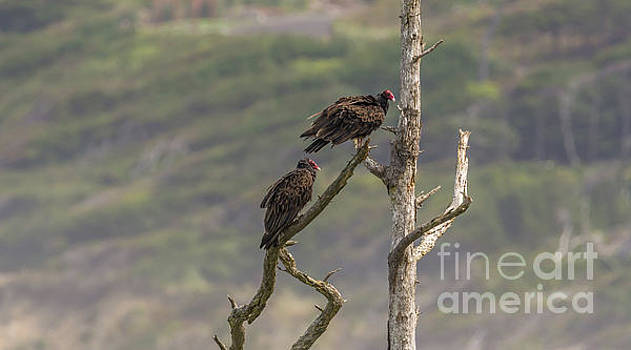 Vultures on Dead Tree Branch by Marv Vandehey