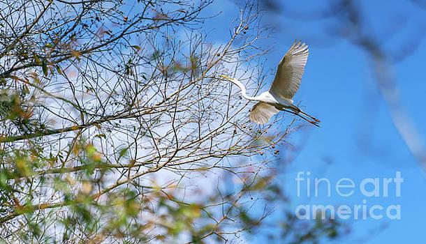 Wacatee Egret in Flight by David Smith