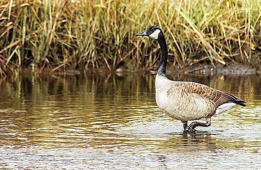 Wading Canada Goose by Bob Decker