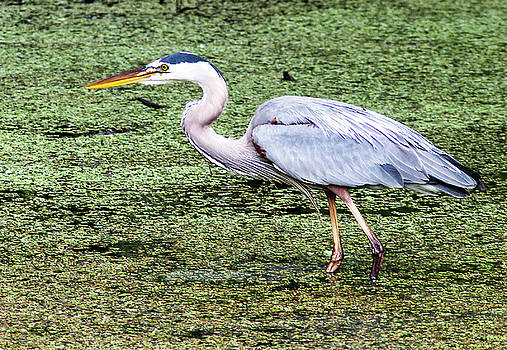 Wading Great Blue by Norman Johnson