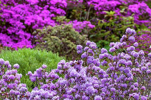 Jenny Rainbow - Walk in Spring Eden. Purple Bloom of Rhododendrons
