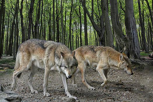 Walking Wolves by Joachim G Pinkawa