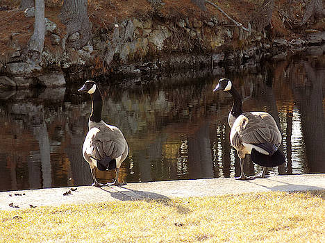 Wary Goose Couple by Susan Janus