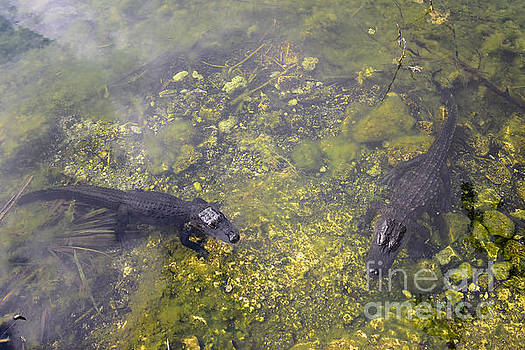 Watchful Alligators in the Florida Keys by Catherine Sherman