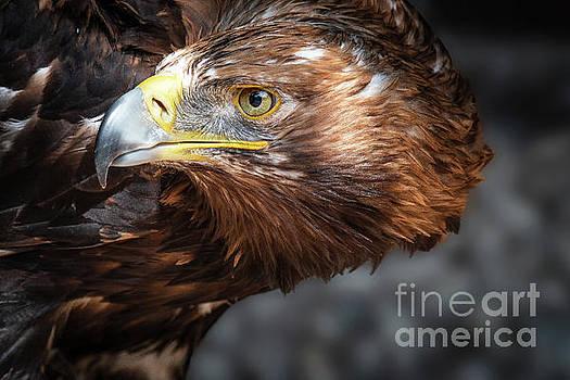 Watching Eagle by Eyeshine Photography