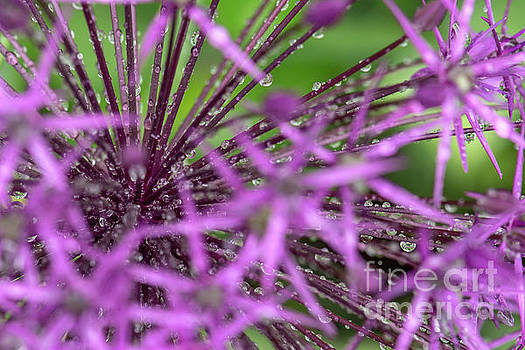 Water drops on purple onion flower by Odon Czintos