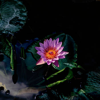 Water lily  by Eugenio Opitz