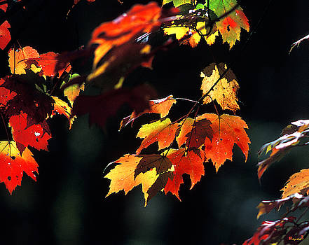 Water Maple Leaves in October 8A by Gerry Gantt