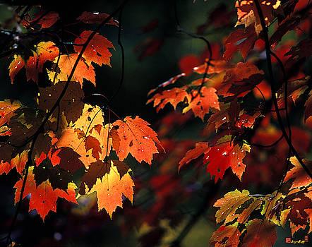 Water Maple Leaves in October 8B by Gerry Gantt