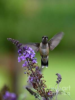 Cindy Treger - Waving Ruby-throated Hummingbird