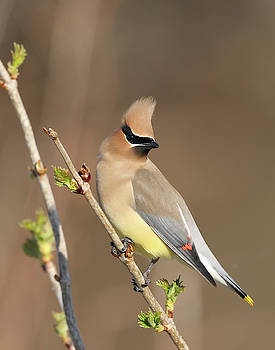Waxwing by Jim Nelson