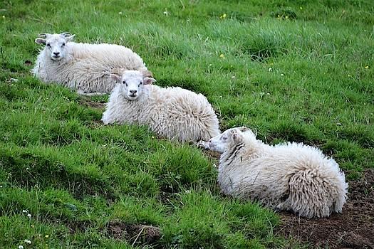 We Three Sheep by Norman Burnham