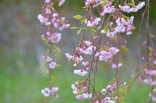 Weeping Cherry Blossoms by SimplyCMB