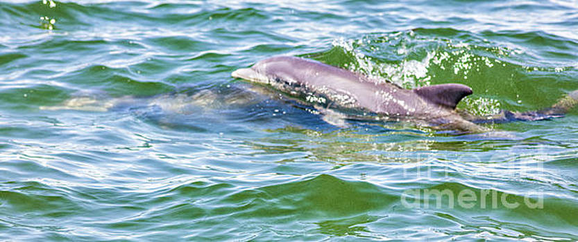 Welcoming Spring, Baby Dolphin And Mother by Felix Lai