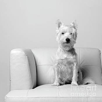 Edward Fielding - Westie on White Leather Sofa