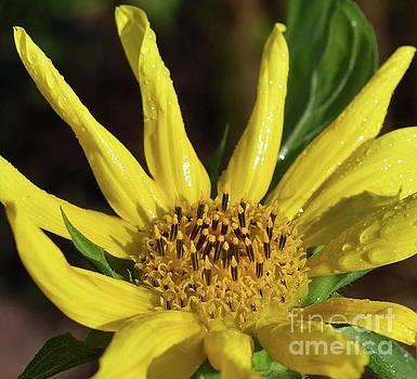 Cindy Treger - Wet And Wild Sunflower