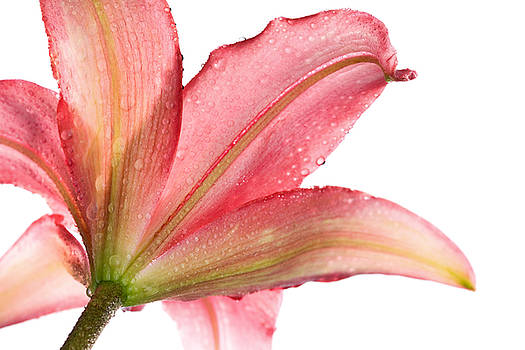 Wet Pink Lily From Below Against White by Johan Swanepoel