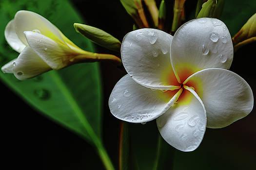 Wet Plumeria Flower by John Bauer