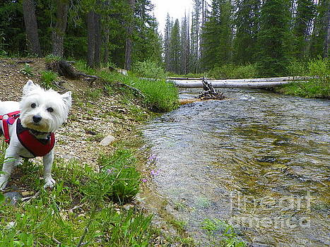 What Do You Think Did I Find A Good Spot Miss Daisy West Highland White Terrier by Art Sandi