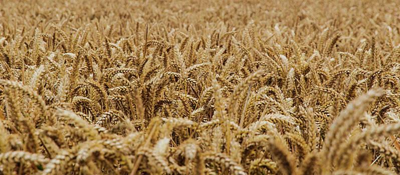 Wheat by Sergey Simanovsky