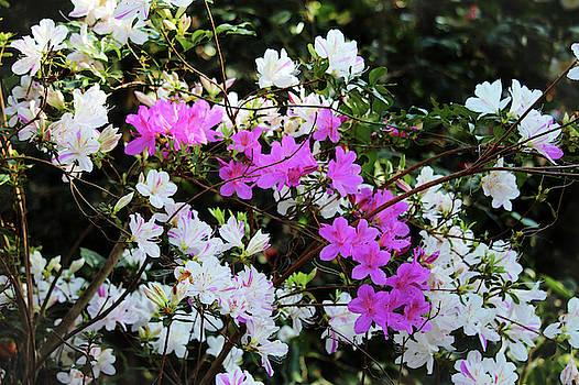 White And Pink Azaleas by Cynthia Guinn