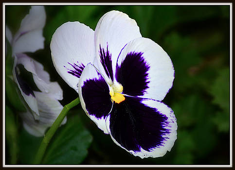 White and Purple Pansy by Constance Lowery