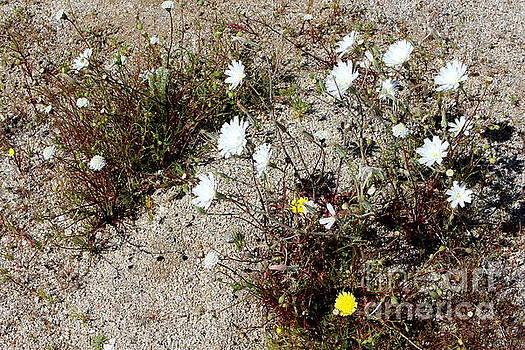 White Blooms by Katherine Erickson