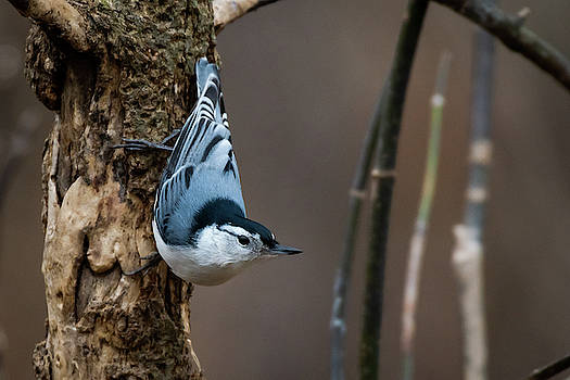 White Breasted Nuthatch by Gary E Snyder