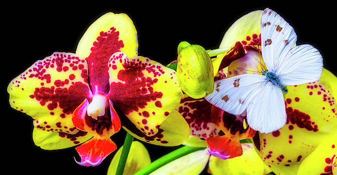 White Butterfly And Yellow Orchids by Garry Gay
