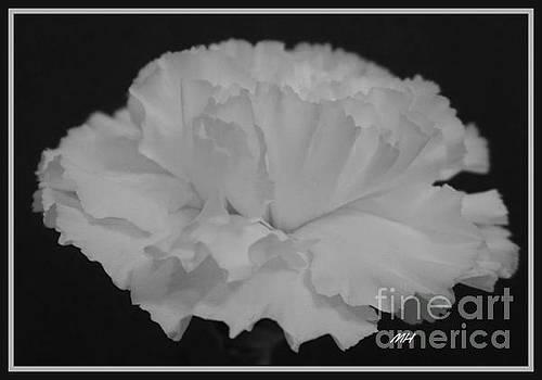 White Carnation by Marsha Heiken