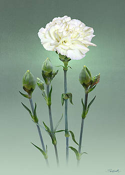 White Carnation by Spadecaller