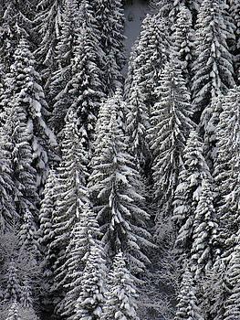 White conifer forest, on hillside by Steve Estvanik
