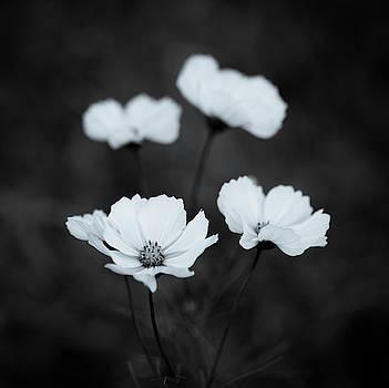 White Cosmos 2 by Susan Schmidt