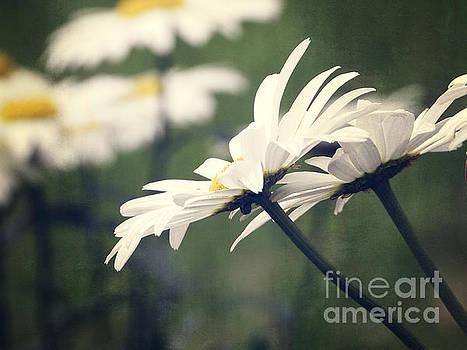 White Daisy Flowers by Ella Kaye Dickey