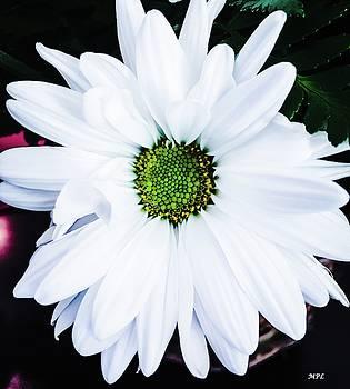 White Daisy by Marian Palucci-Lonzetta