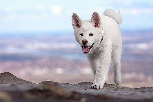 White dog at the top of the mountain  by Tamas Szarka