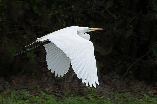 White Egret in Flight by Mitch Spence