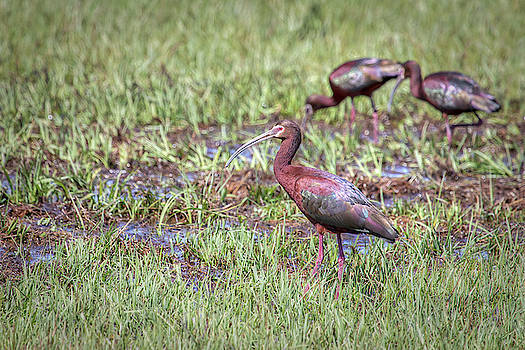 White-faced Ibis 00995 by Kristina Rinell
