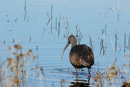 White-faced Ibis by P W