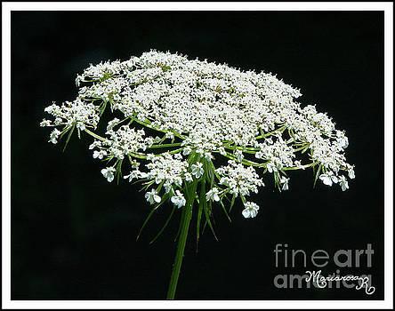 White Flower Clusters by Mariarosa Rockefeller