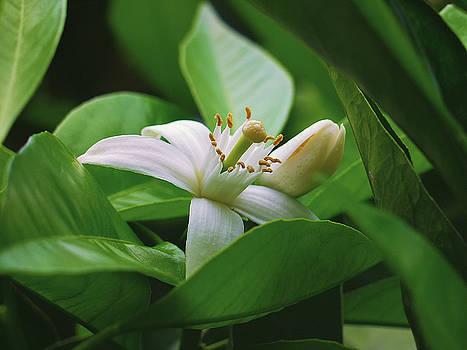 White Flower by Jackson Ball