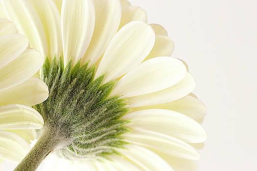 White Gerbera Daisy by Cindi Ressler